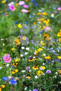Wild-flowers4
