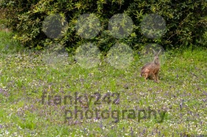 Wild hare in green grass - franky242 photography