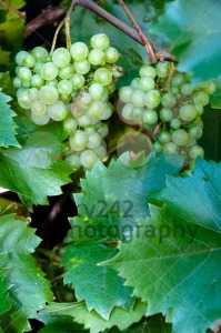 Wine Grapes - franky242 photography