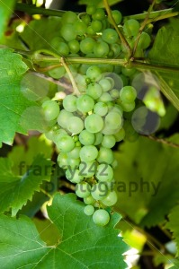 Wine-Grapes1