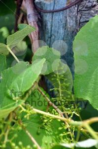 Wineyard-in-early-summer-1