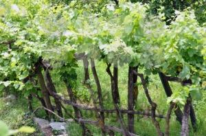 Wineyard-in-early-summer-2