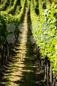 Wineyards-In-Early-Summer2