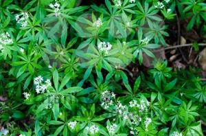 Woodruff white flowers - franky242 photography
