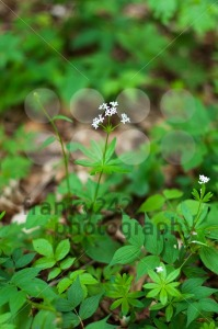 Woodruff white flowers - franky242 photography