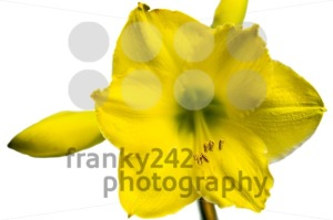 Yellow Amaryllis Flower - franky242 photography
