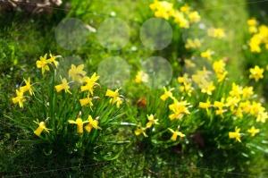 Yellow-daffodils1