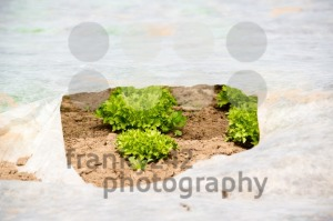 Young Green Lettuce in the greenhouse - franky242 photography
