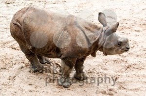 Young Indian one-horned rhinoceros (6 months old) - franky242 photography