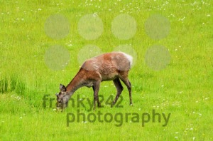Young stag feeding - franky242 photography