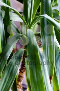 Yucca, house plant - franky242 photography