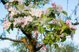 apple blossom - franky242 photography