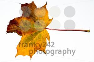 autumn maple leaf - franky242 photography