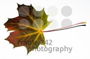 autumn-maple-leaf1