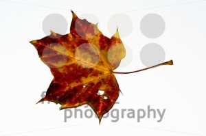 autumn-maple-leaf3
