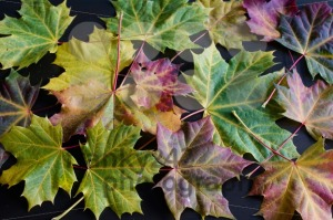 autumn maple leaves - franky242 photography