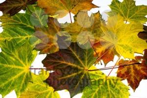 autumn-maple-leaves4