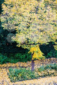 autumn tree with falling leaves - franky242 photography