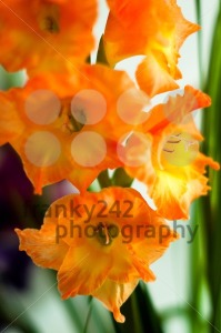 beautiful orange gladiolus - franky242 photography