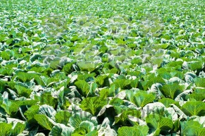 cabbage field - franky242 photography