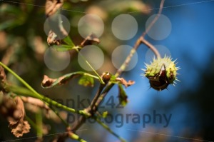 chestnut on the tree - franky242 photography