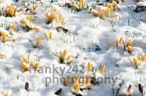 crocus flowers in snow - franky242 photography