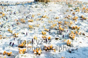 crocus-flowers-in-snow3