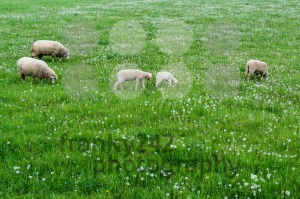 cute sheep family - franky242 photography