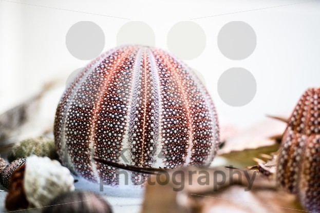 dried-sea-urchin