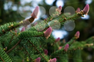 flowering fir branch - franky242 photography
