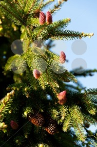 flowering-fir-branch1
