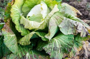 frozen cabbage - franky242 photography