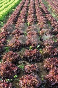 lettuce fields - franky242 photography