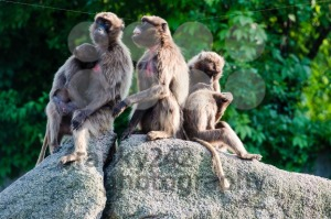 monkeys-on-a-rock