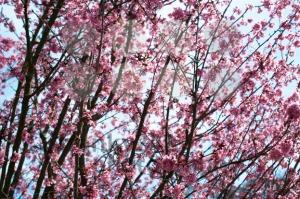 pink-blossom-sukura-flowers