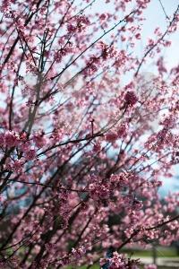pink-blossom-sukura-flowers1