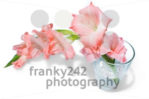 pink gladiolus isolated on white - franky242 photography