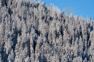 snow covered pine trees - franky242 photography