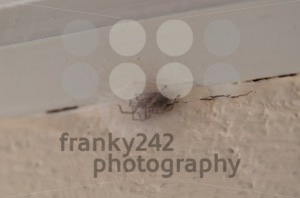 spider with egg cocoon - franky242 photography