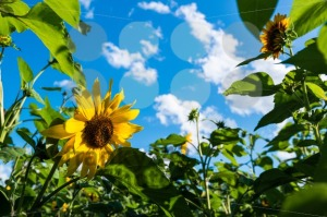 sunflower field over cloudy blue sky - franky242 photography