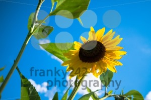 sunflower over cloudy blue sky - franky242 photography