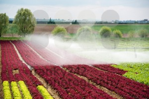watering lettuce fields - franky242 photography