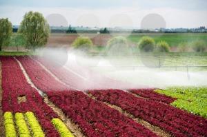 watering lettuce fields - franky242 photography