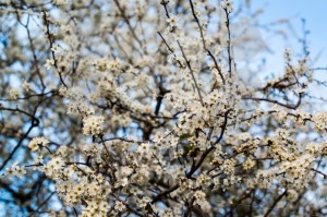 white cherry blossom - franky242 photography
