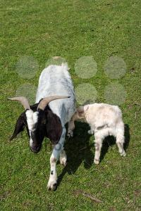 white-goat-suckling-lamb
