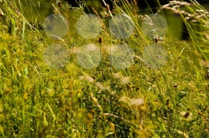 wild grasses - franky242 photography
