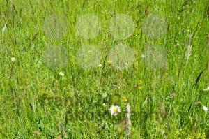 wild-meadows