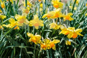 yellow daffodils in spring. - franky242 photography
