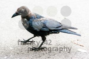 young-black-crow-portrait