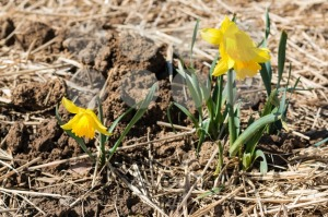 young daffodils - franky242 photography